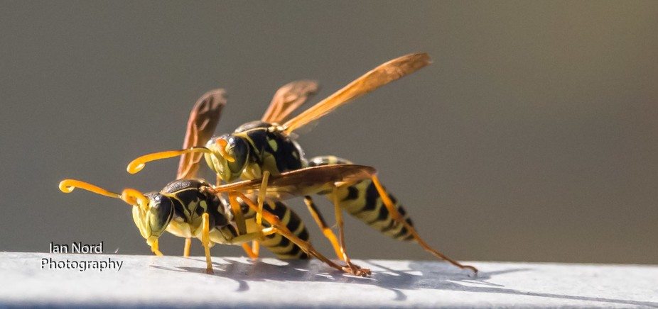 There was a few wasps just flying back and forward along my back fence.