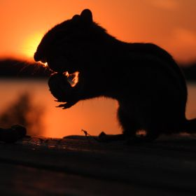 The chipmunks were getting greedy with peanuts so I took advantage taking a chipmunk photo shoot with a fabulous sunset.