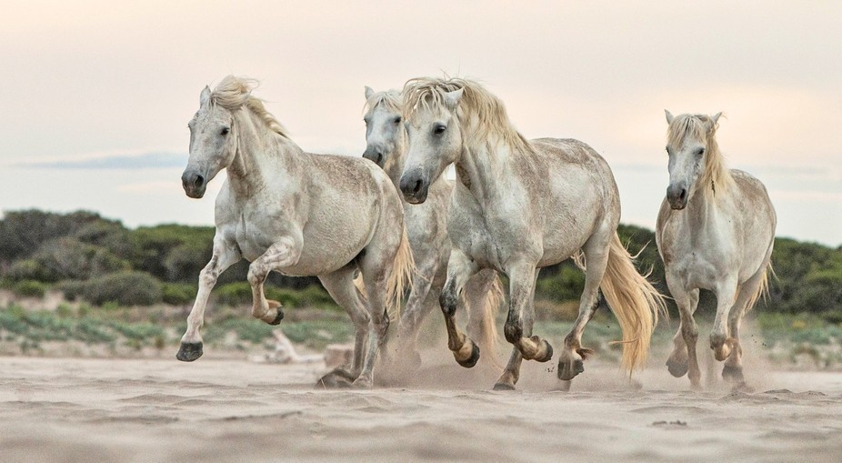 Wild white mares galloping on the sand