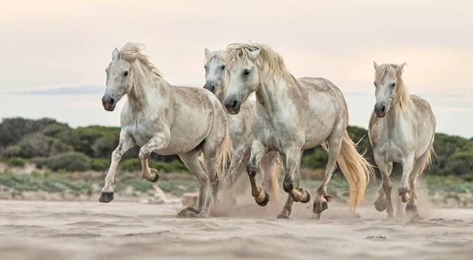 Wild white mares galloping on the sand by Helkoryo - Compositions 101 Photo Contest vol4