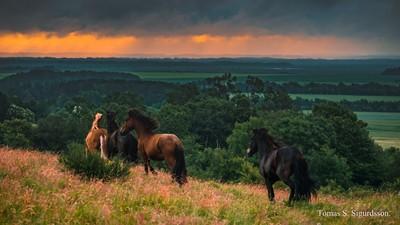 Horses run free.