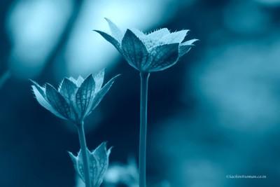 Astrantia Major flower