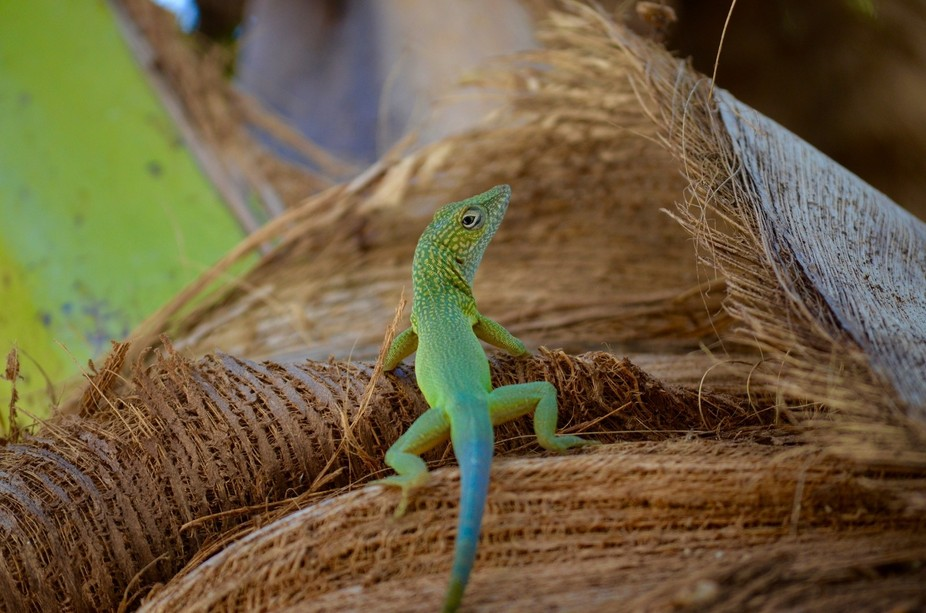 This lizard was climbing up a palm tree in Jamaica when it happened to stop and  look back at the...