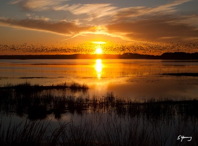 Sunset With Snow Geese; Chincoteague, VA