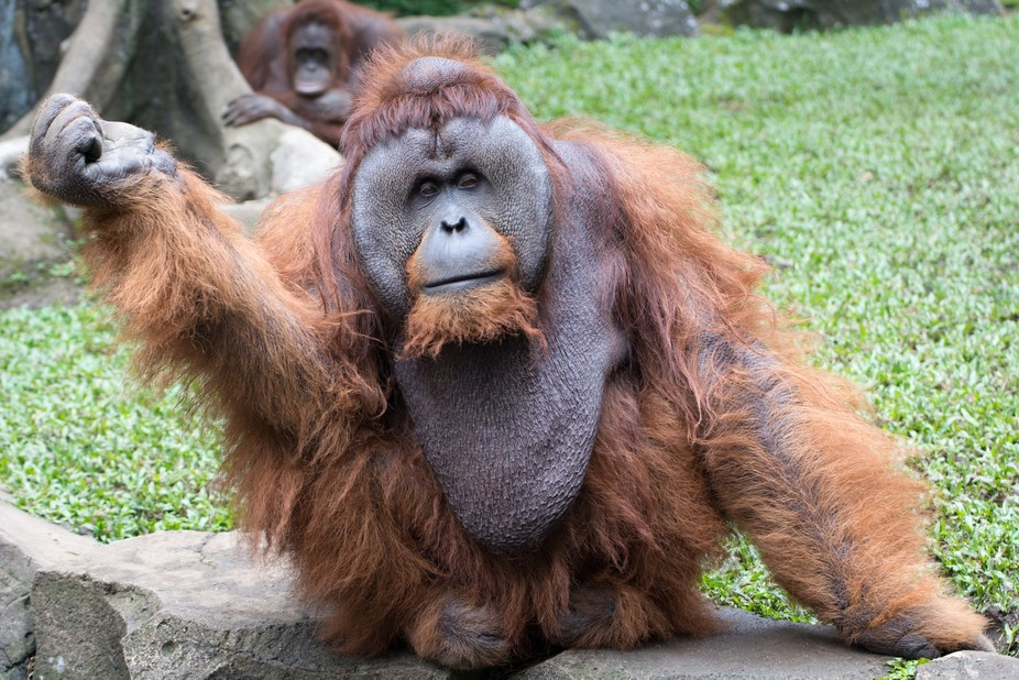 Portrait of orangutan from Indonesia