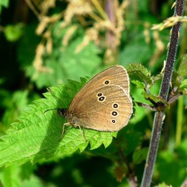 Ringlet Butterfly (Aphantopus hyperantus). A common and widespread butterfly found throughout most parts of England, Wales, Ireland and the southern counties of Scotland.