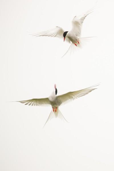 Arctic Terns Skydance