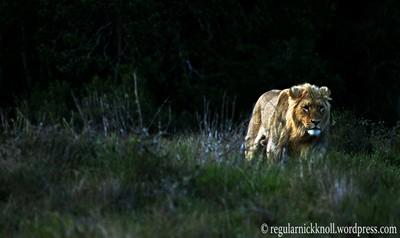 regular lion 3