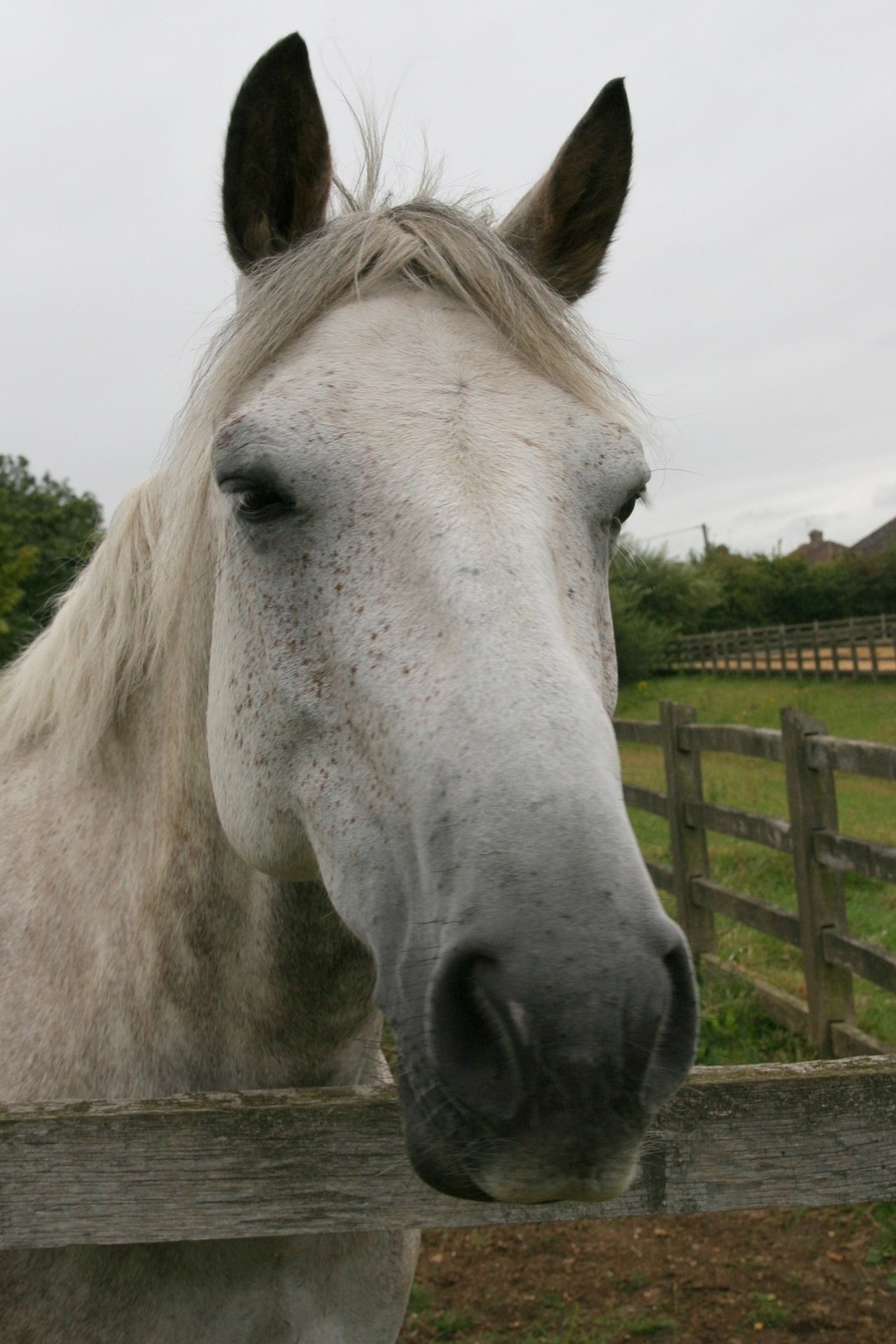This white horse was always outside near the road. Very friendly and absolutely loved apples, carrots and love getting picture taken now and then.