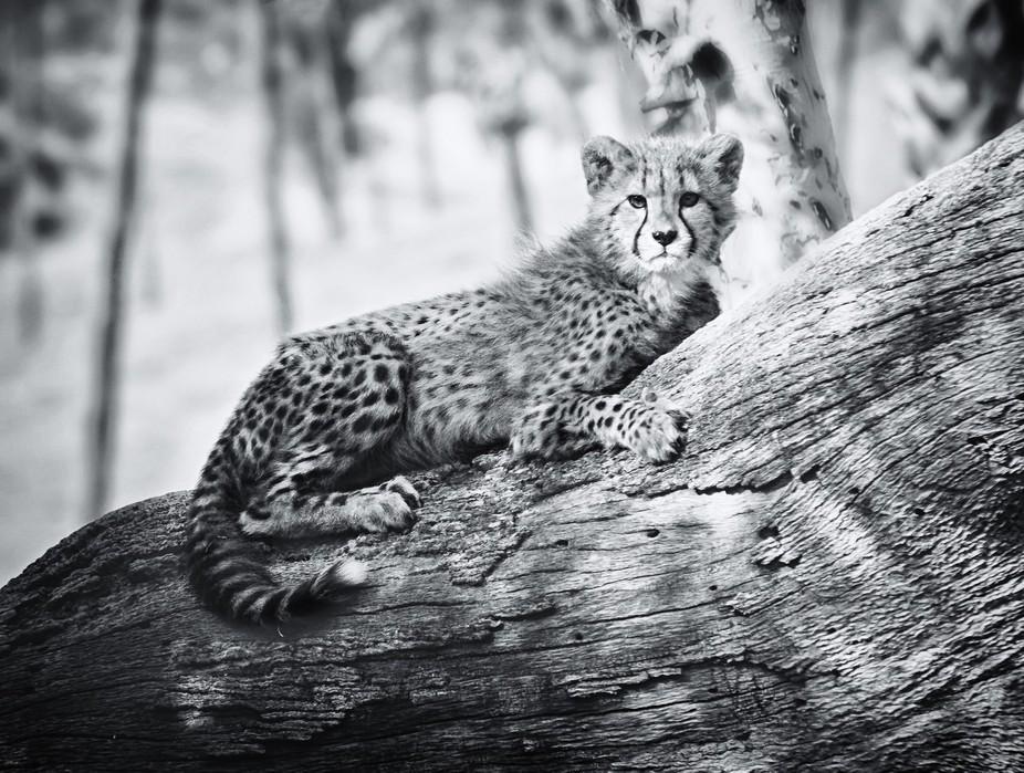 Baby Cheetahs on tree Silver Efex