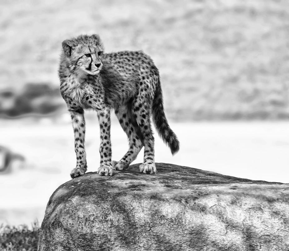 Baby Cheetah on rock BW