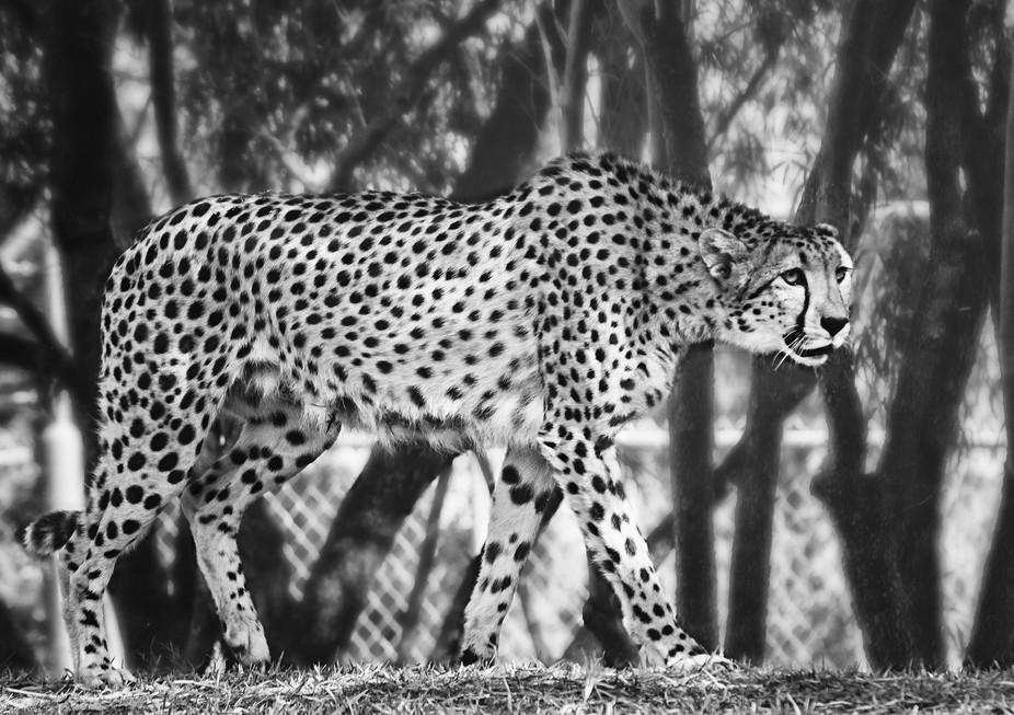 Momma Cheetah Silver BW