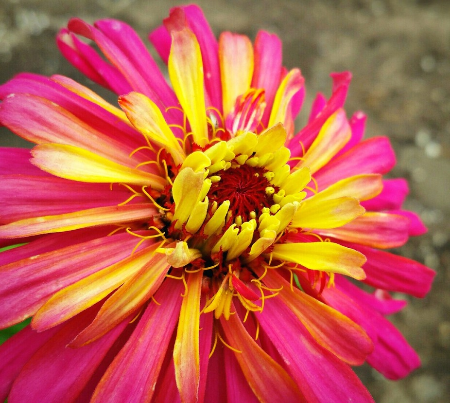 One of the first zinnias in the garden of 2016!