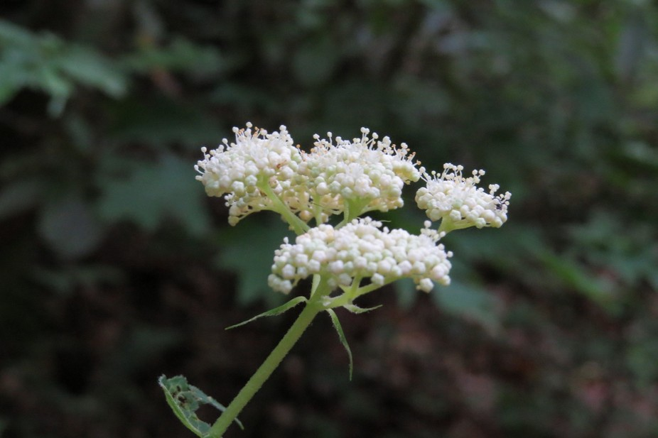 Queen Anne's Lace budding.