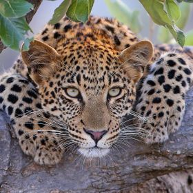 This is the 11 month old leopard cub of the Mashaba female leopard in the Sabi Sans game reserve at Londolozi,South Africa.
