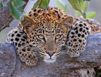 A beautiful leopard Cub