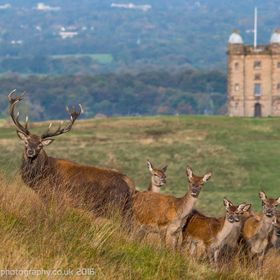 Red deer stags & The Cage, Lyme Park.