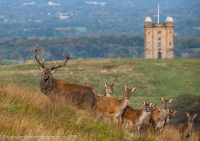 Stag with hinds at Lyme Park