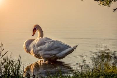 swan take a sunbath