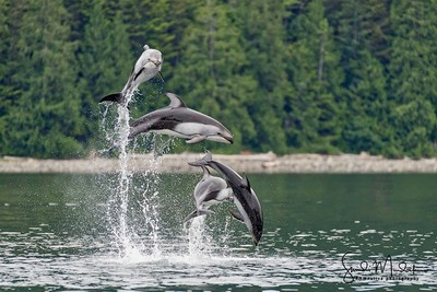 Waterfall - Pacific Whitesided Dolphins at Play