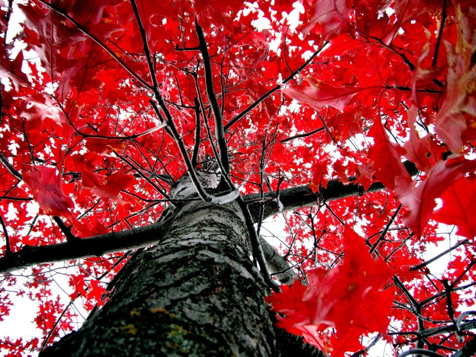Beautiful red maple found in one over our public parks.