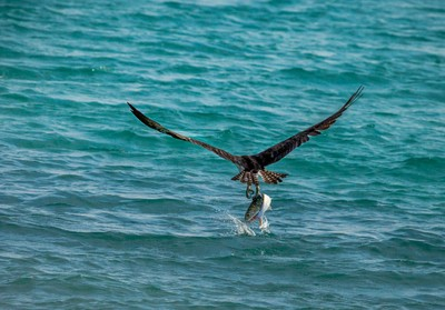 Osprey with Caught Fish