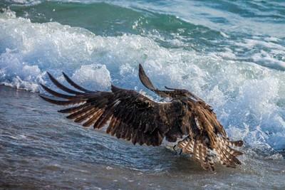 Osprey Fishing in Surf