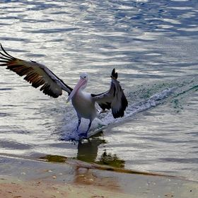 I had never seen a Pelican come in for a stand up landing and there it happen right in front of me. what a sight to see. Just amazing how they us...