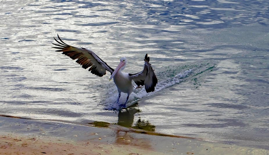 I had never seen a Pelican come in for a stand up landing and there it happen right in front of m...