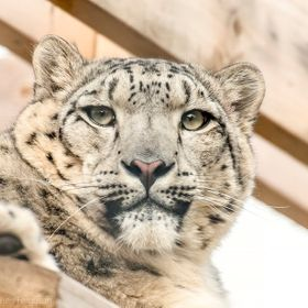 I shot this photo of the Snow Leopard whilst on a visit to the Highland Wildlife Park in Kincraig Scotland. He was sitting up on a ledge looking ...