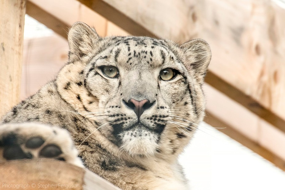 I shot this photo of the Snow Leopard whilst on a visit to the Highland Wildlife Park in Kincraig...