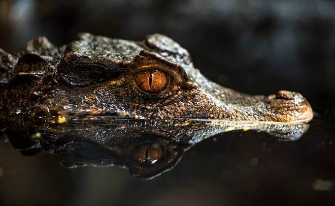 Caiman by BensViewfinder - Happening At The Zoo Photo Contest