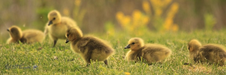 Untouched color/colour photograph by J. McCombie. The Canada Goose (Branta canadensis) is a goose...