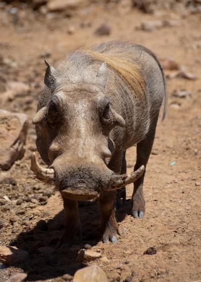 lady warthog!