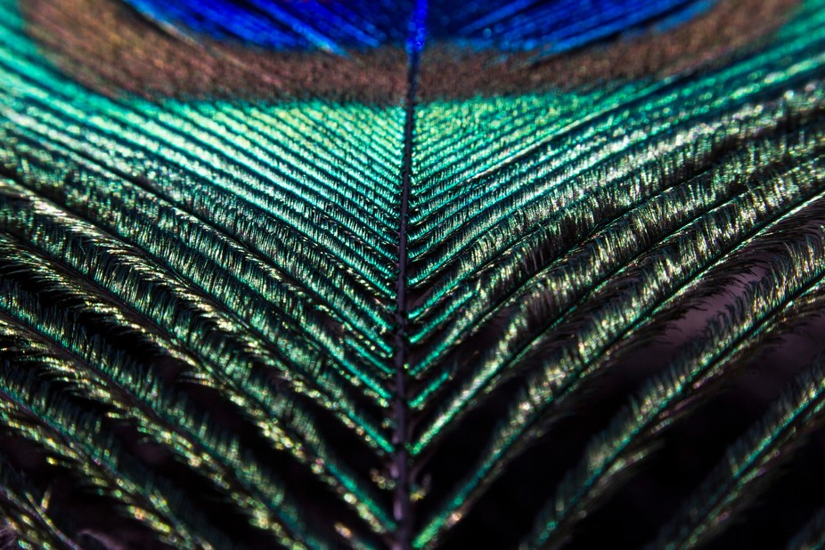 Peacock feather_1