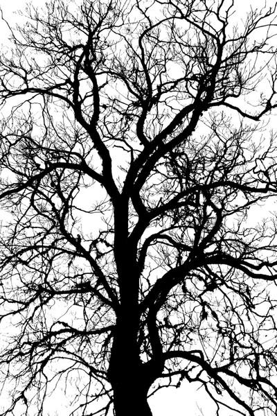Oak silhuette