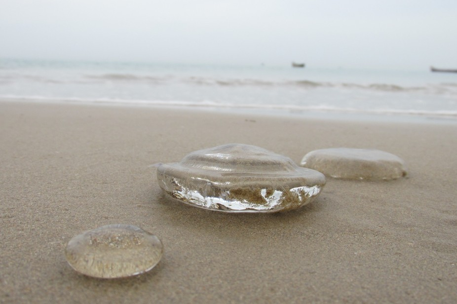 These are moon jelly fish which are dead but given life for this picture (image), It is taken in ...