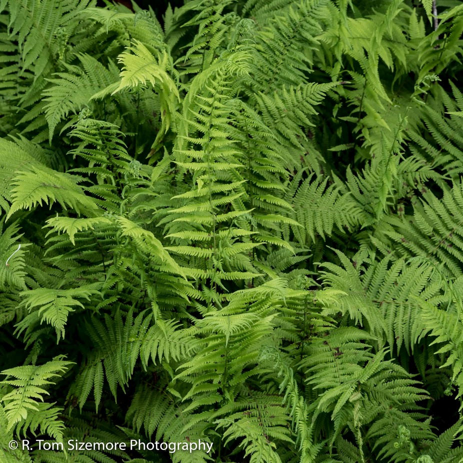 "Taken in Clay County, West Virginia.   These ferns were thickly growing along the county road near a little unincorporated area called ""Dog Run""."