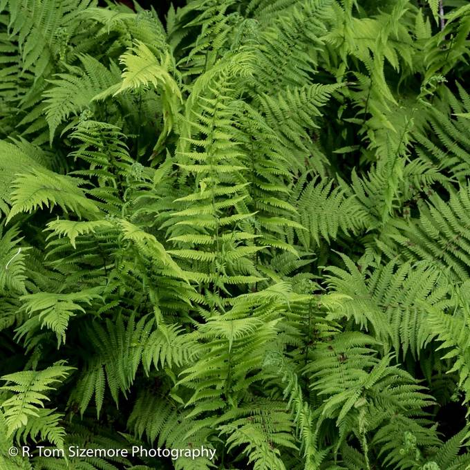 """Taken in Clay County, West Virginia.   These ferns were thickly growing along the county road near a little unincorporated area called """"Dog Run""""."""