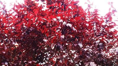 red & white leaf