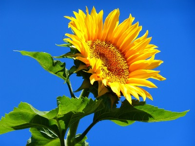 sunflower in the blue sky of France