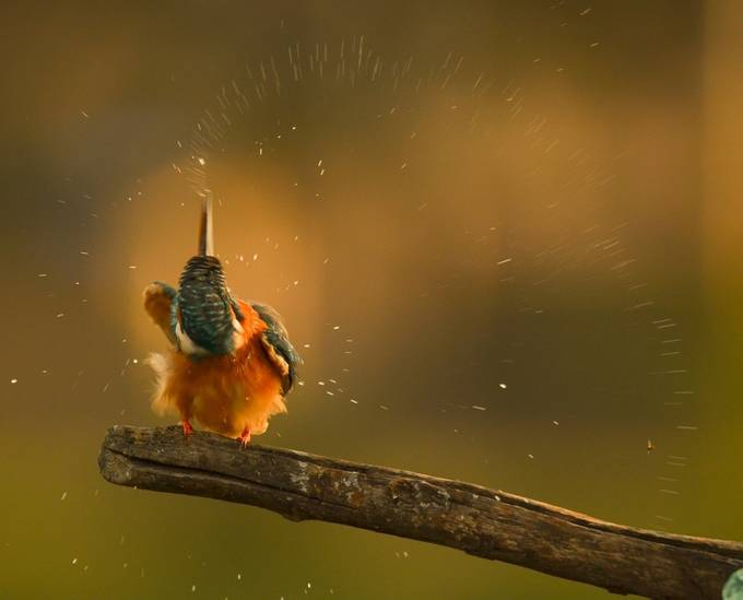 Kingfisher Splashing by venka2k_act - I Love The World Photo Contest