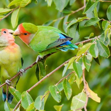 Lovebirds showing the love.  We have wild lovebirds in the area, they are so much fun to watch.