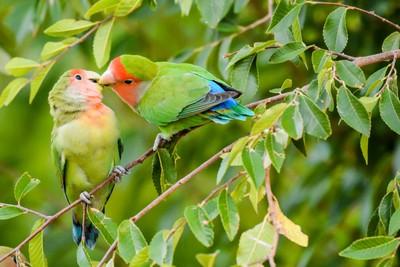 Lovebird Kisses