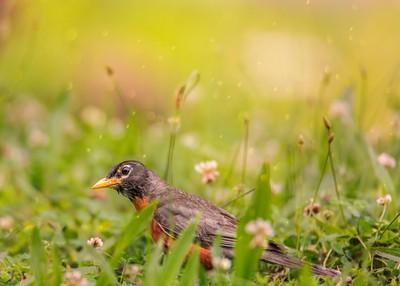 Peekaboo Robin In The Grass