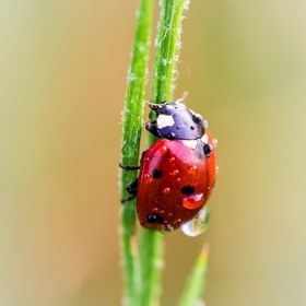 A little ladybug on its way to the end of a blade of grass...