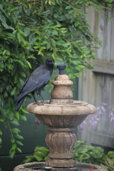 Crow on the fountain