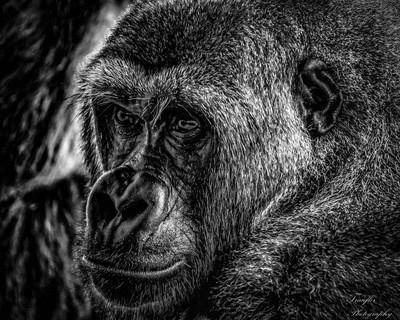 Lowland Gorilla B&W