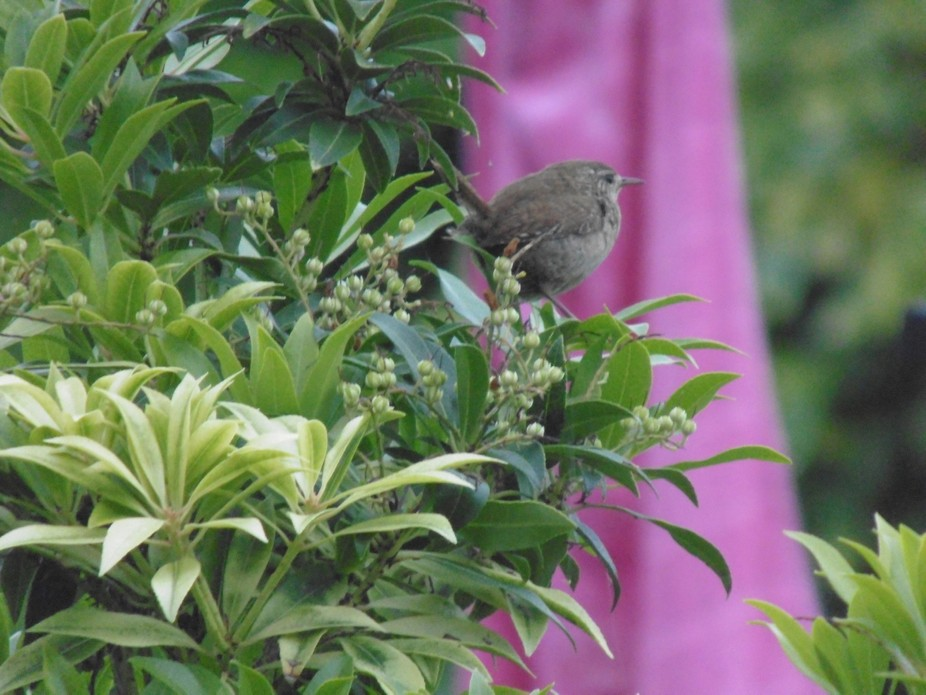 This is an image of a little Wren that has been frequenting our back garden, we naturally called ...