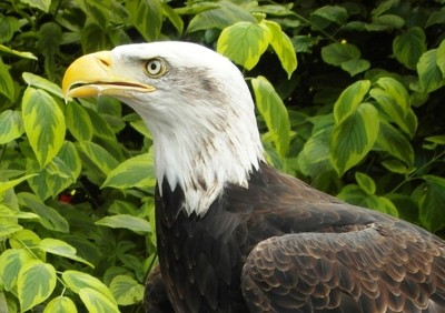 12years old eagle